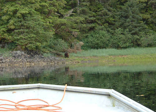 Dan took a skiff out one evening after dinner and found this brown bear not more than a mile from camp. If anyone walks out of camp Alan advises that they carry a big handgun which he's happy to supply.