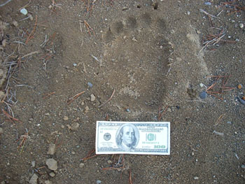 I found this fresh grizzly track about 100 yards from my meat cache after unloading from the Beaver along the Cotton River. I waited about two hours for my ride down the highway.